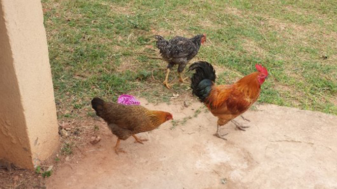 Chickens in the Divine Day Care Garden